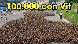 TQ thêm họa phải dùng vịt để diệt 400 tỷ con châu chấu tấn công