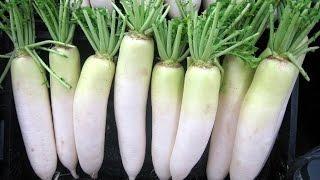 Có củ cải trắng, bạn không phải tốn 1 xu cho bệnh viện